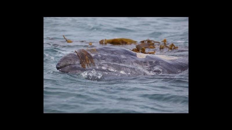 Sud Corea: Possibile rinuncia a caccia balene con motivazione ricerca