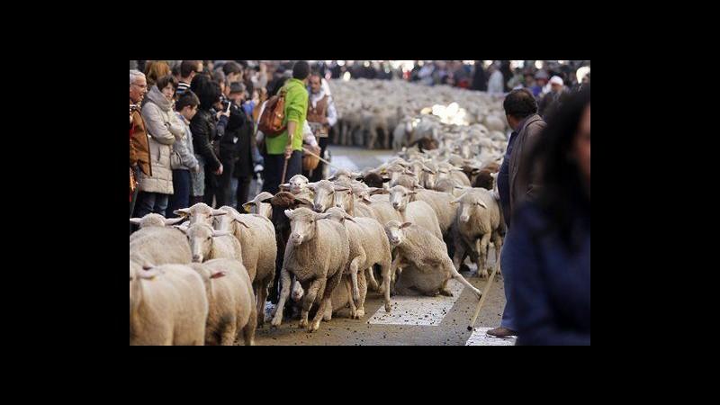 Spagna, a Madrid 2.000 pecore a passeggio contro agricoltura moderna