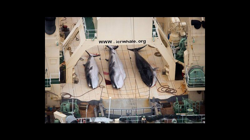 Sea Shepherd intercetta navi Giappone in santuario balene: le fermeremo