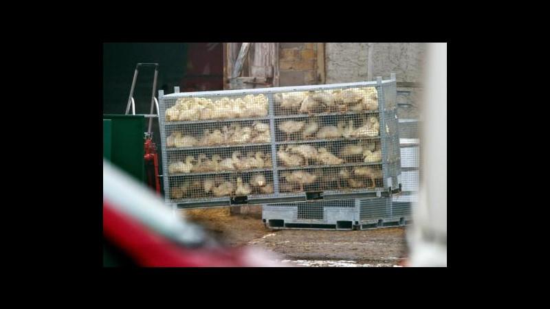 Germania, allerta aviaria a Seelow: saranno abbattute 14mila anatre