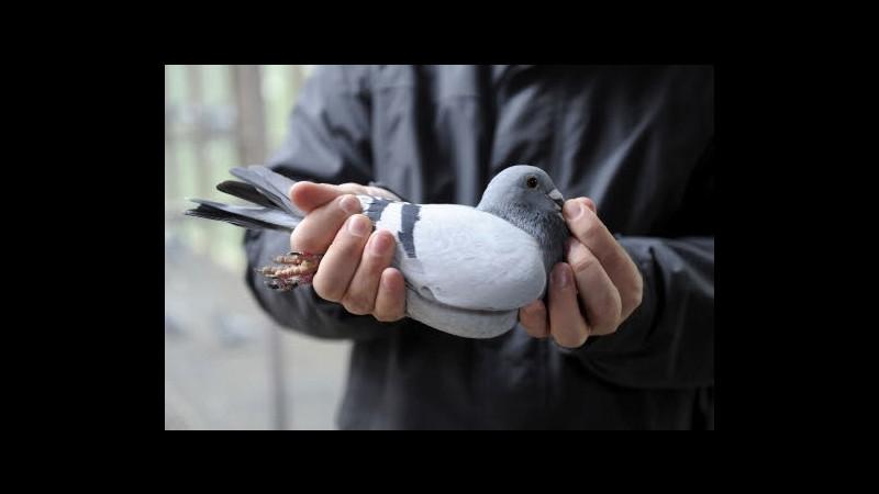 Peta Basta gare di piccioni viaggiatori 75 muore