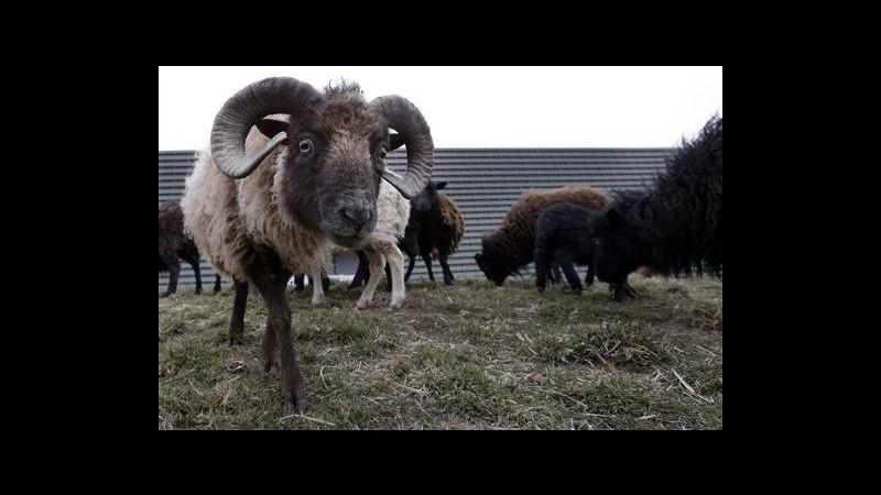 Pecore come tosaerba: la scelta ecologica del Comune di Parigi
