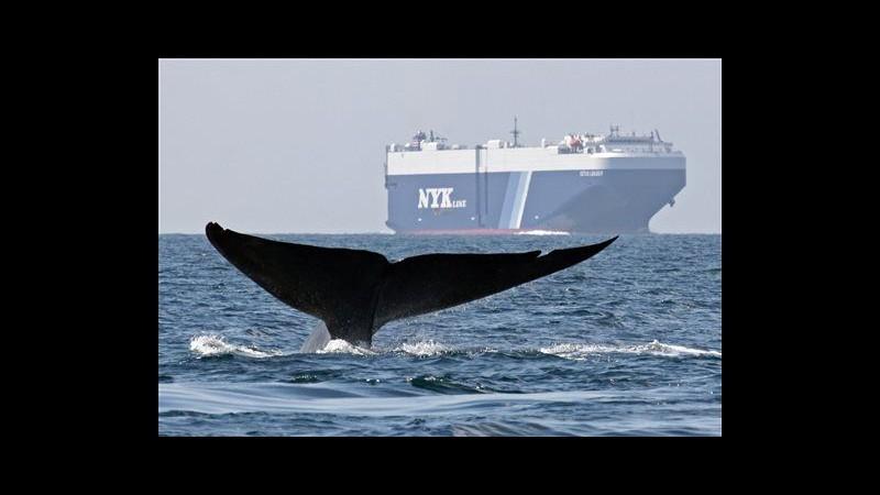 In California rotte navali deviate per salvare le balene