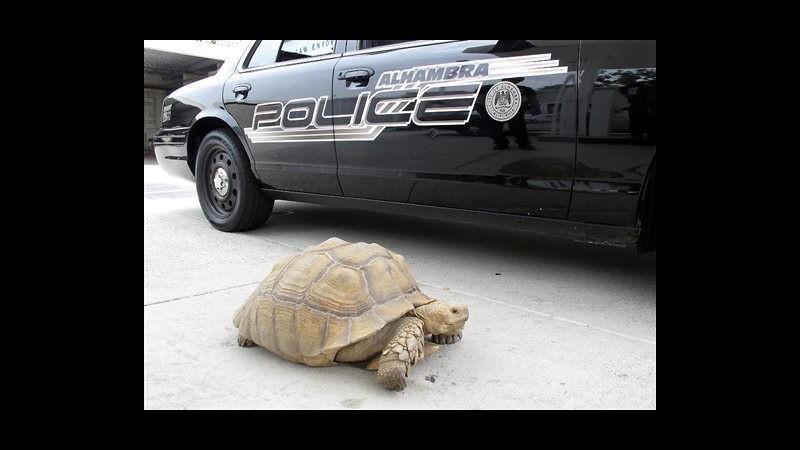 Usa, polizia cattura tartaruga in fuga e scherza: Siamo stati veloci