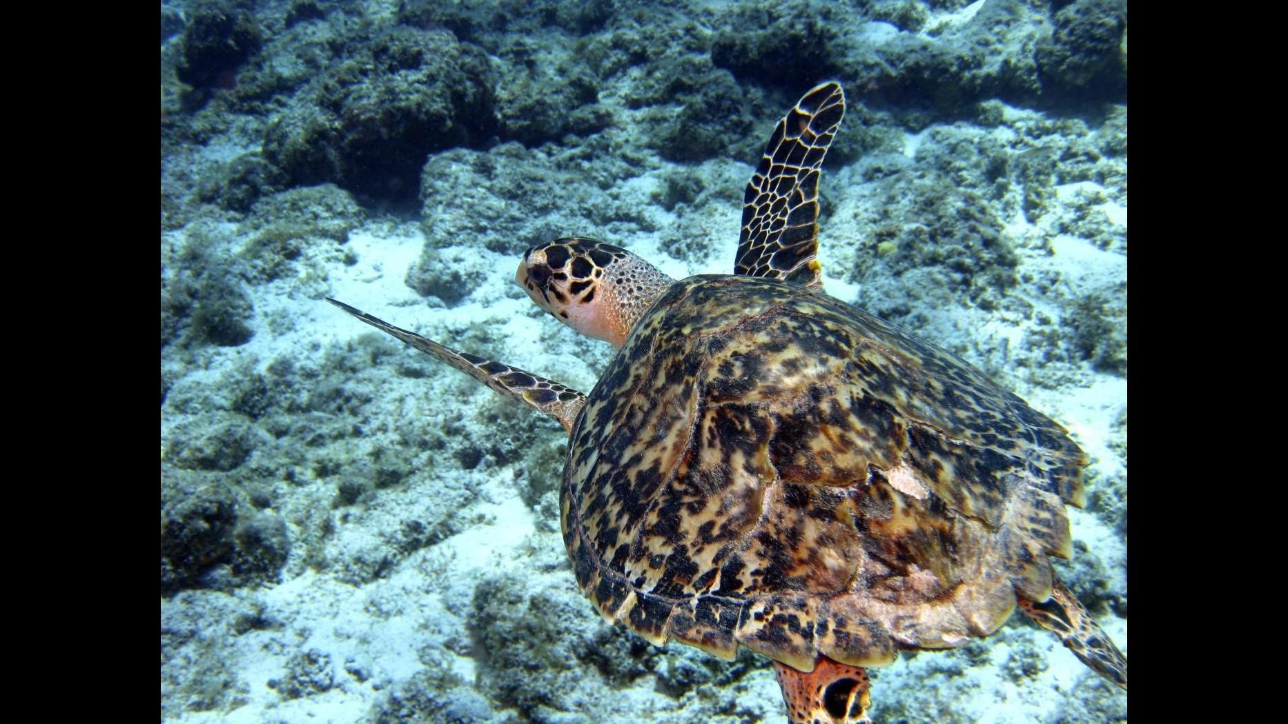 Vibo Valentia, tartaruga Caretta caretta fa le uova tra gli ombrelloni