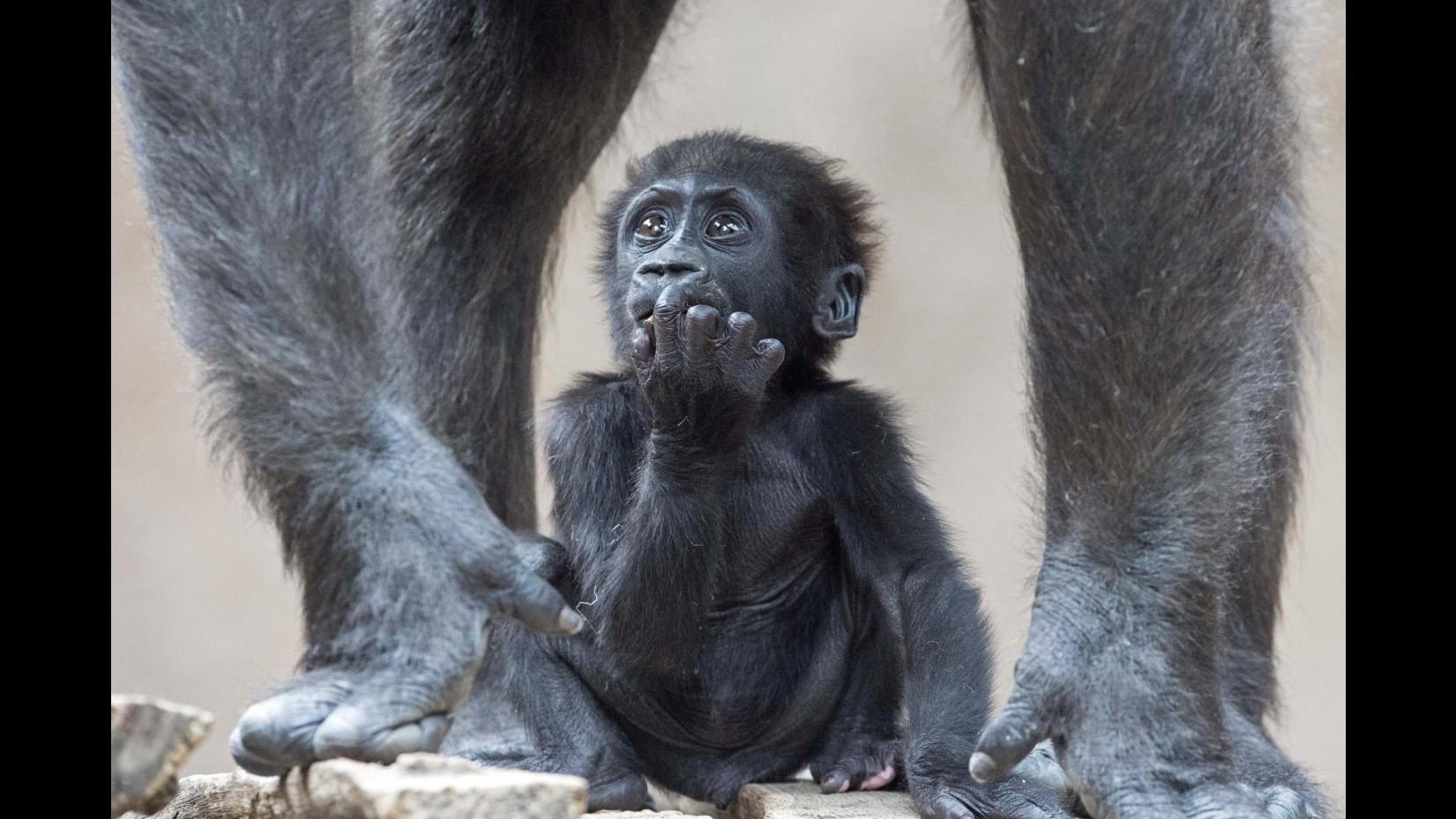 Baby gorilla nasce da parto cesareo allo zoo di San Diego