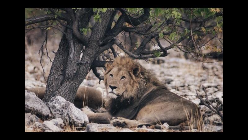 Leone sbrana una guida turistica nel parco dove fu ucciso Cecil