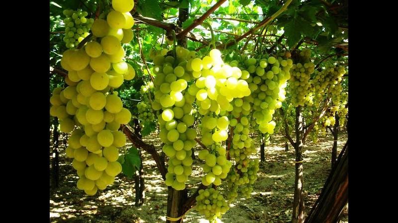 Ruba 150 chili di uva da tavola nel barese: 47enne ai domiciliari