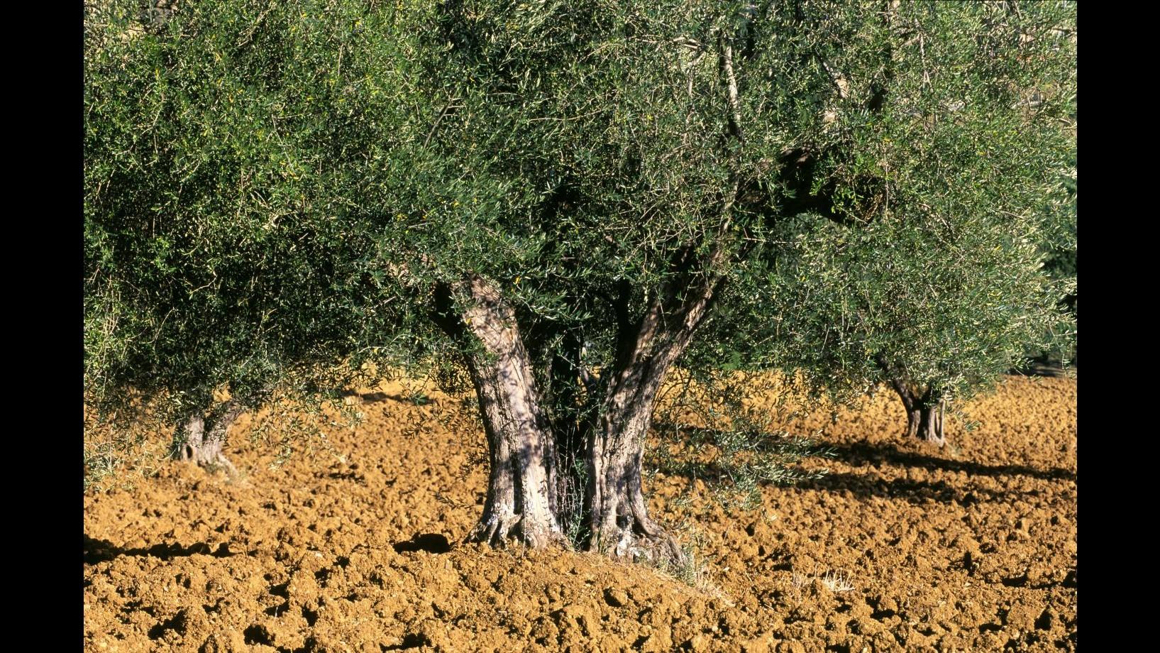 Coldiretti: Attenzione a olio sotto 6-7 euro, guardare anno produzione