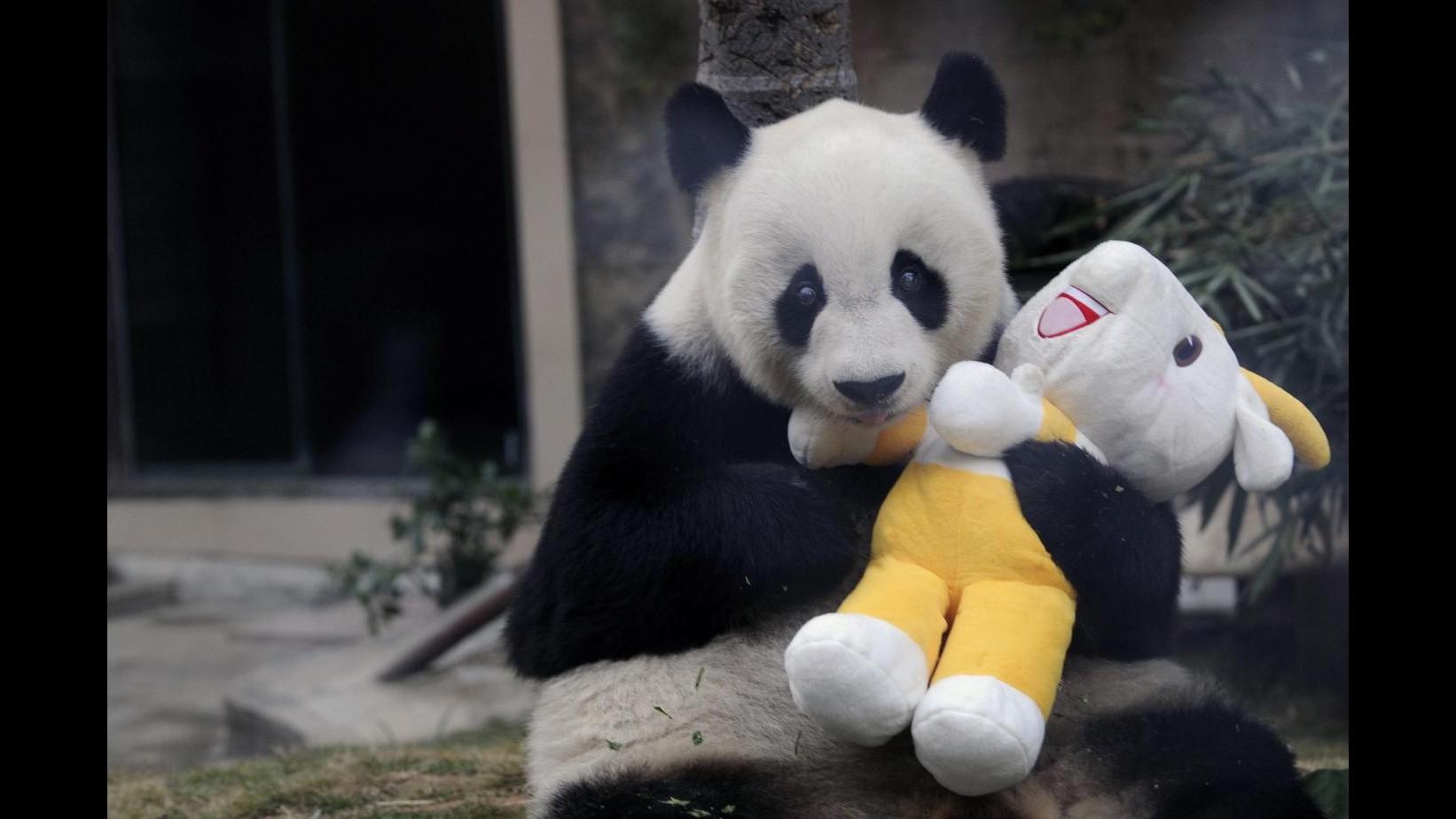Cina, panda Basi compie 35 anni: è il secondo più vecchio al mondo