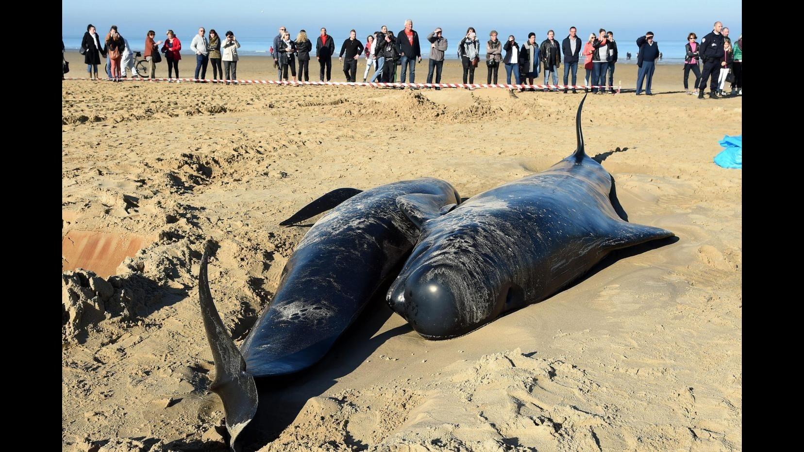 Cile, trovate morte oltre 300 balene spiaggiate nel sud