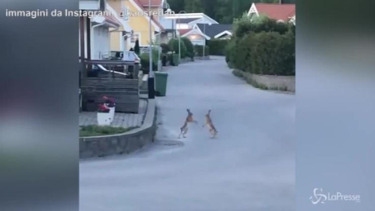 Svezia, la divertente lotta tra conigli in strada
