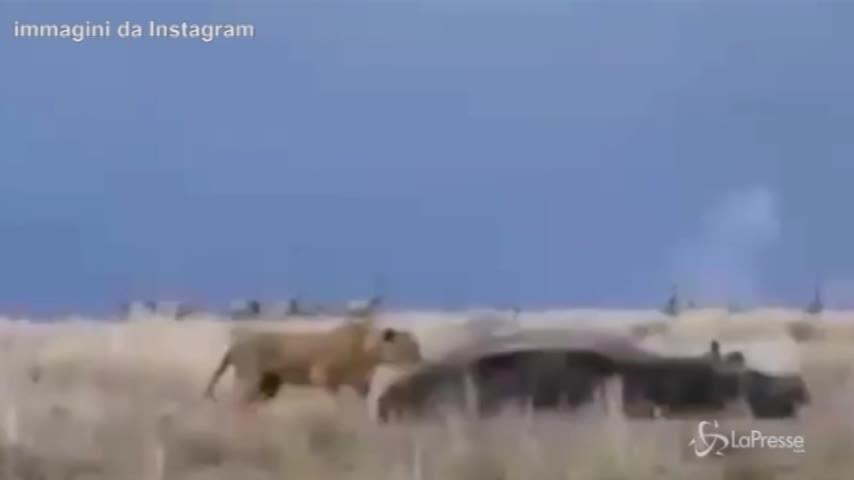 Pisolino interrotto nella savana: l'ippopotamo carica la leonessa