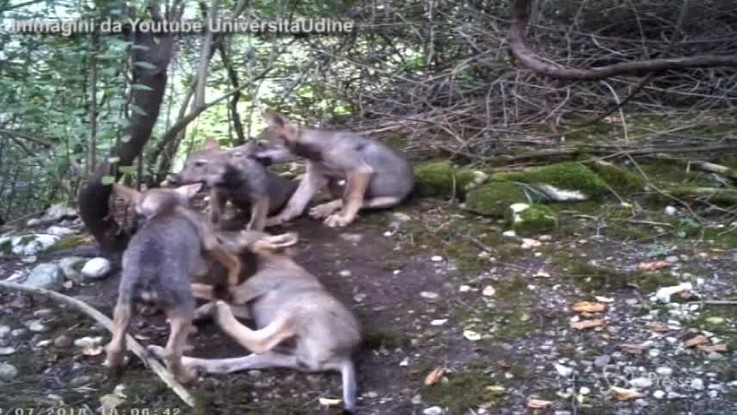 Friuli Venezia Giulia, nati sei cuccioli di lupo