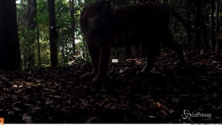 Cuccioli di tigre crescono, il video del WWF per il #GlobalTigerDay