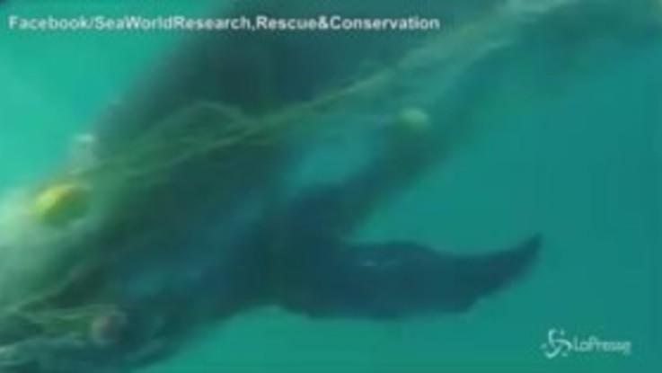Australia: intrappolato in una rete, il salvataggio del cucciolo di balena