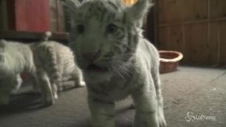 Cina, prima uscita per tre cuccioli di tigre bianca