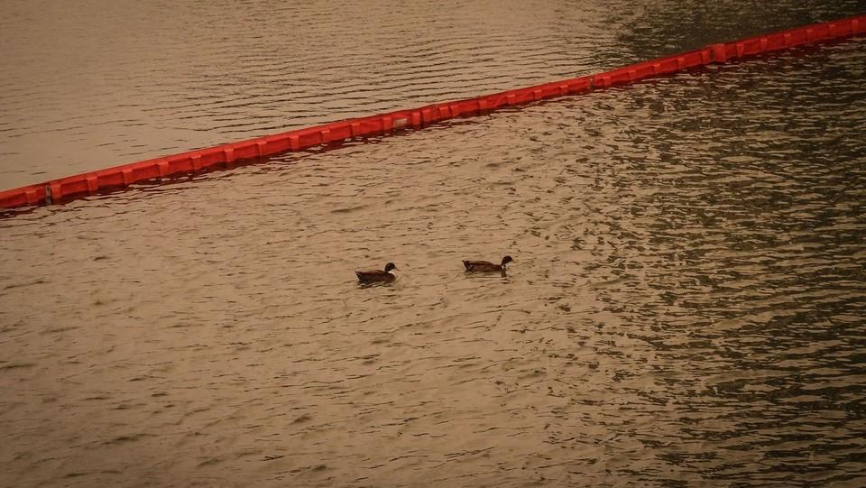 Due papere nuotano tra le acque della Darsena dopo il maltempo ©