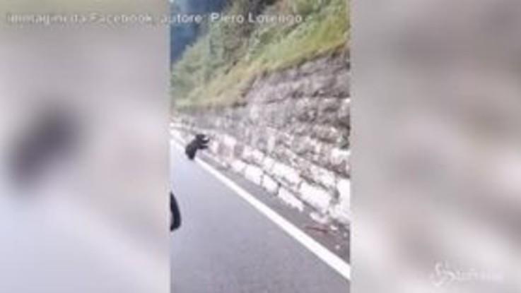 Cucciolo di orso in strada: la tenera sorpresa al Passo del Tonale