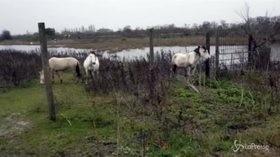 Ostellato, cavalli abbandonati nel ferrarese