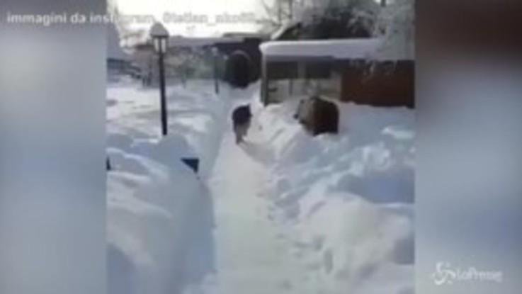 Giochi nella neve, l'orso stuzzica il cane lupo: la sua reazione è esilarante