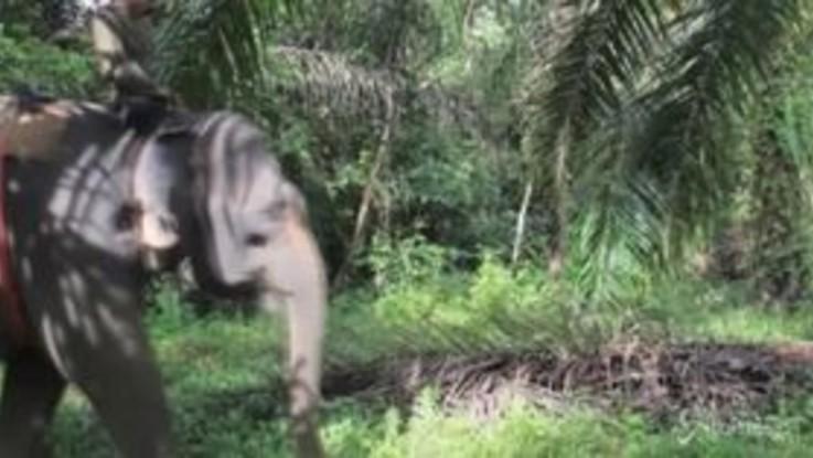 Indonesia, l'elefante selvatico infastidisce il villaggio: cacciato