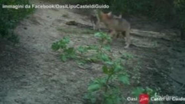 I lupi tornano a Roma: le prime immagini dei cuccioli dell'Oasi di Castel di Guido