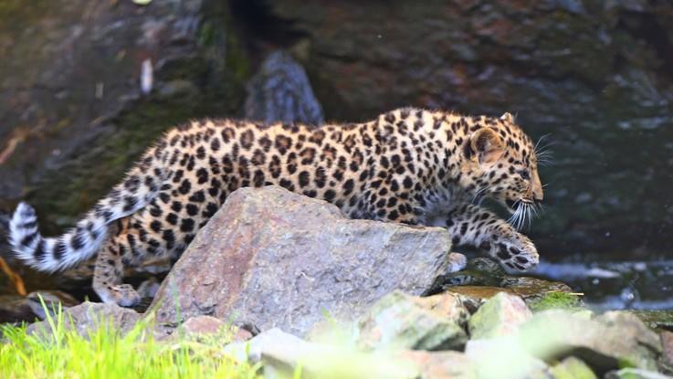 India, leopardo attacca e uccide un bambino di tre anni