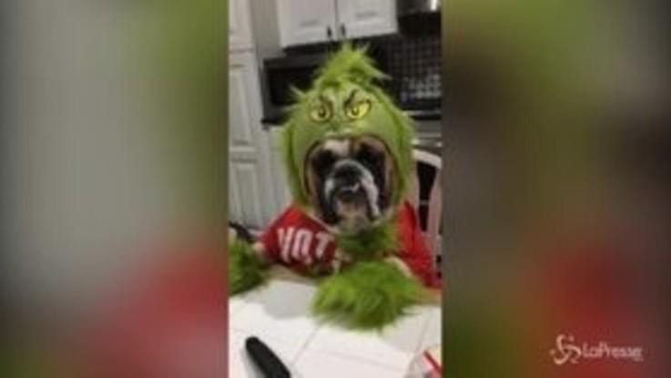 Gemma, il cane bulldog vestito da Grinch conquista il web