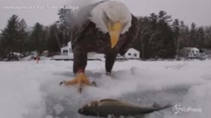 L'uomo pesca un grosso pesce, ma l'aquila glielo ruba: il pranzo è servito