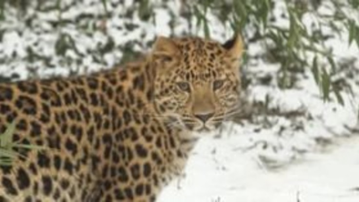 Due leopardi giocano e si rotolano nella neve di Vienna