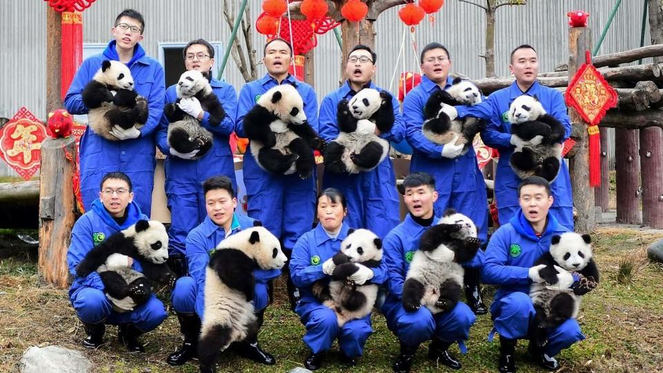 Gli unidici panda nati nella Shenshuping breeding base della Wolong National Nature Reserve e presentati al pubblico in occasione delle celebrazioni per l'anno del Maiale ©