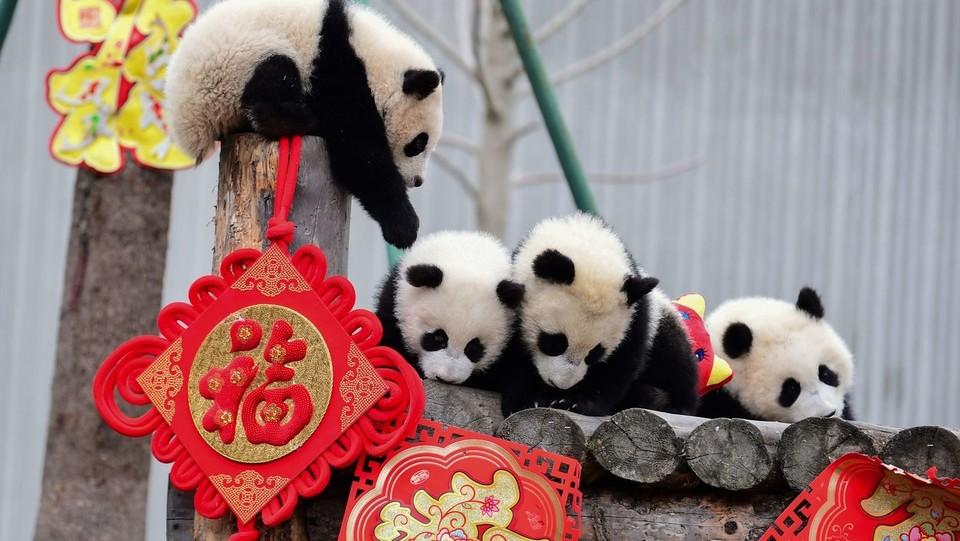 Alcuni degli unidici panda nati nella Shenshuping breeding base della Wolong National Nature Reserve e presentati al pubblico in occasione delle celebrazioni per l'anno del Maiale ©