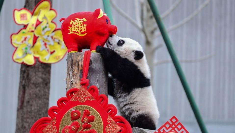 Uno degli unidici panda nati nella Shenshuping breeding base della Wolong National Nature Reserve e presentati al pubblico in occasione delle celebrazioni per l'anno del Maiale ©