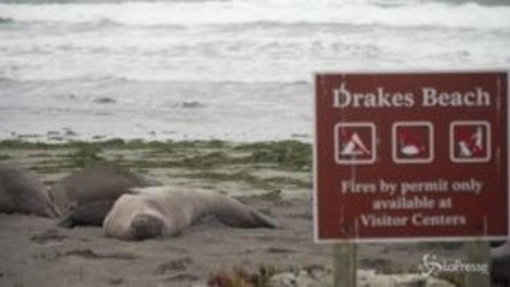 Usa, elefanti marini invadono spiaggia 'grazie' allo shutdown