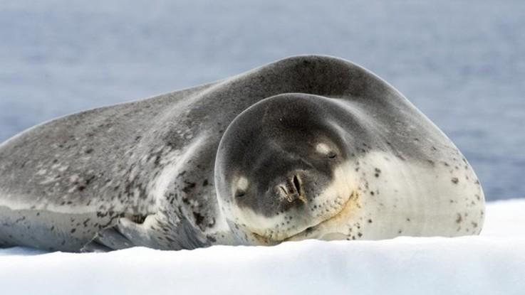 Il mistero della chiavetta usb nelle feci della foca-leopardo: contiene foto di leoni marini