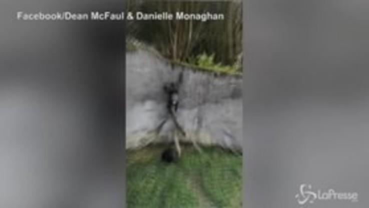 Fuga dallo zoo da manuale: gli scimpanzé di Belfast evadono dal recinto