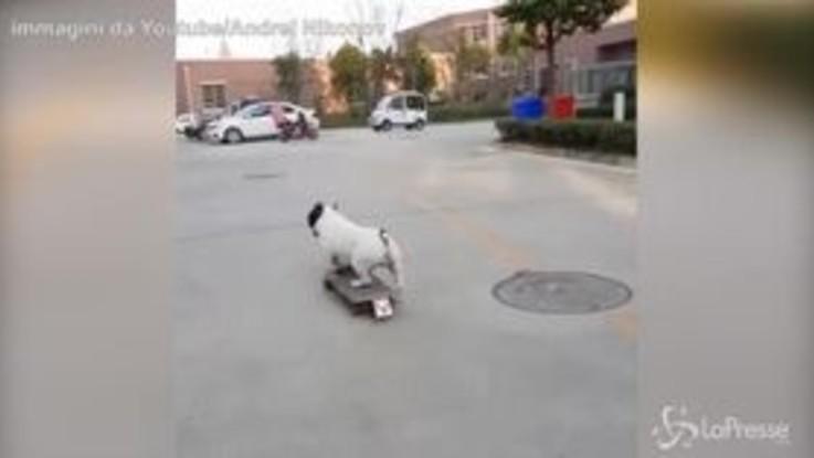 Più veloce degli esseri umani: ecco il bulldog fenomeno dello skate