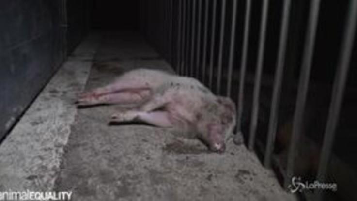 Cuccioli morti in gabbie strette e sporche, viaggio choc negli allevamenti di maiali