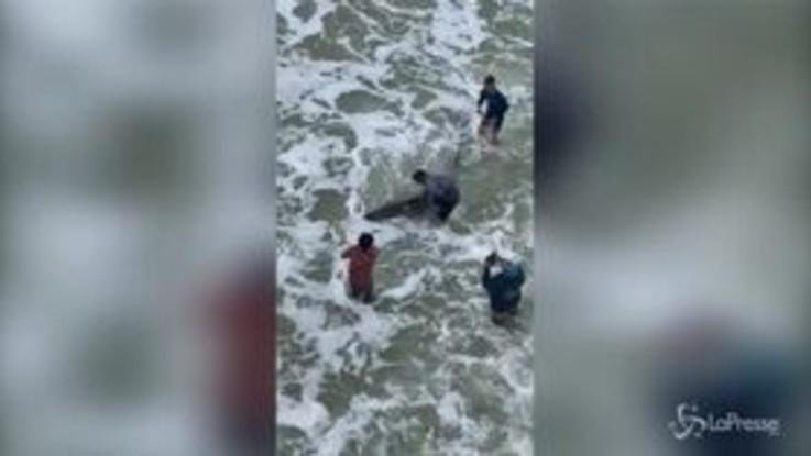 Florida, squalo bianco in spiaggia: lo catturano a mani nude