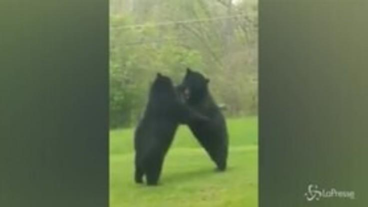 Usa, lotta tra orsi in giardino: il proprietario di casa riprende la scena