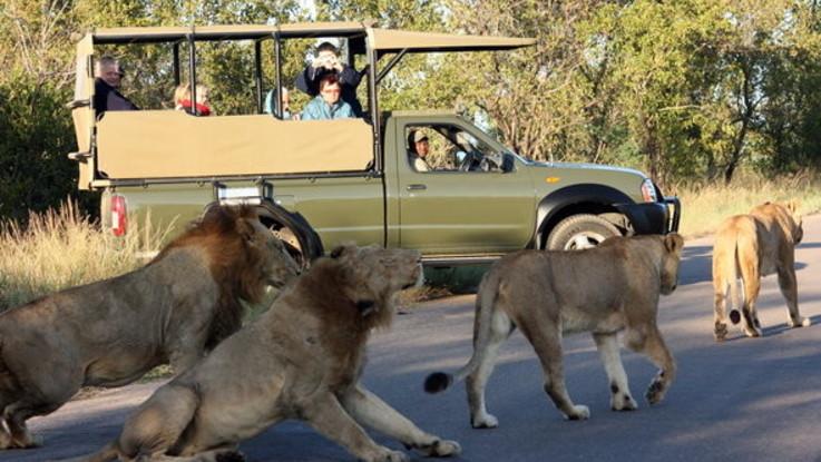 Un branco di leoni in libertà ai confini del Parco Kruger in Sudafrica