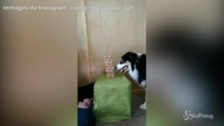 Jenga, il cane è più bravo della padrona: il video è virale