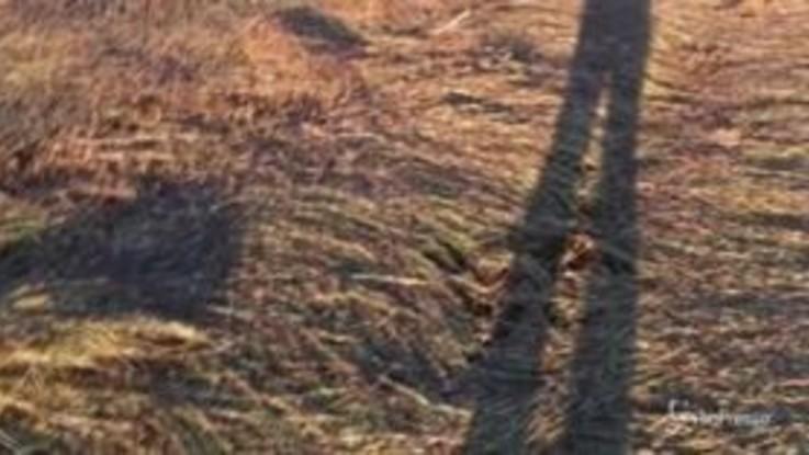 Sardegna, l'invasione delle locuste devasta i raccolti