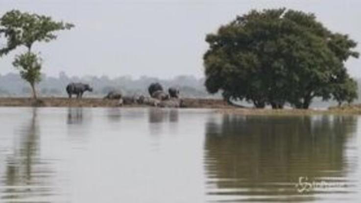 Alluvioni in India, gli animali fuggono dal parco nazionale allagato
