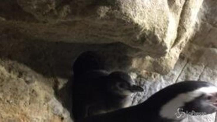 Acquario di Genova, nati tre pinguini di Magellano