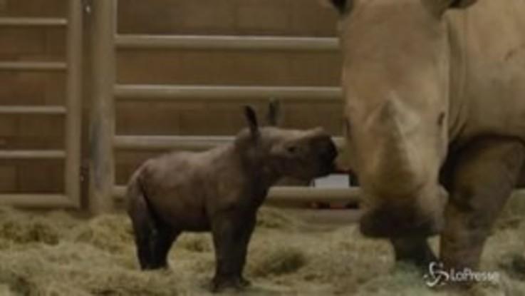 Festa allo Zoo di San Diego, nato cucciolo di rinoceronte bianco