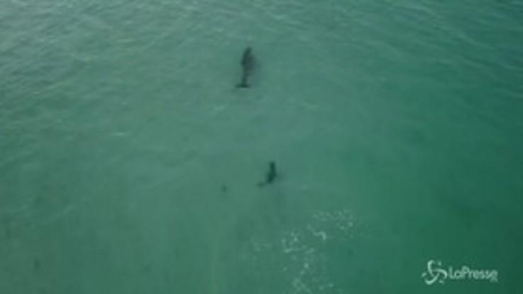 Il baby squalo lo insegue, ma il delfino è troppo veloce