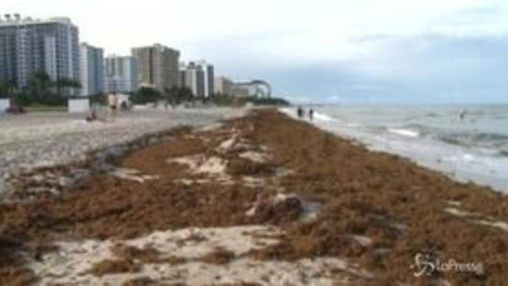 Florida, cumuli di alghe sulle spiagge: trattori per rimuoverli