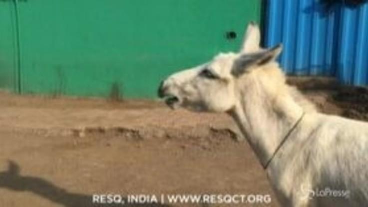 India, l'asina sa cantare: il video è virale